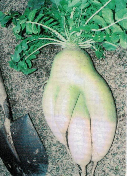 HB-101でどの野菜も全部よく出来ます。