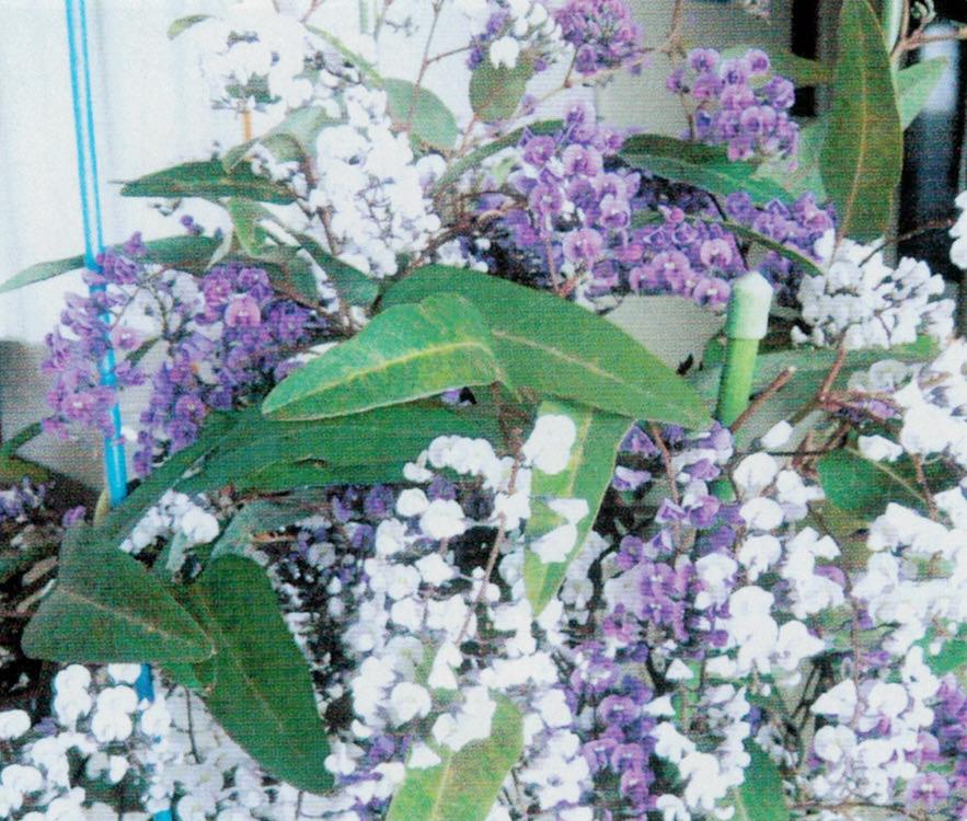 HB-101と顆粒HB-101で見事な花が咲きました。