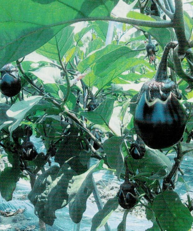 HB-101で水分の多い水ナスが収穫出来ます。