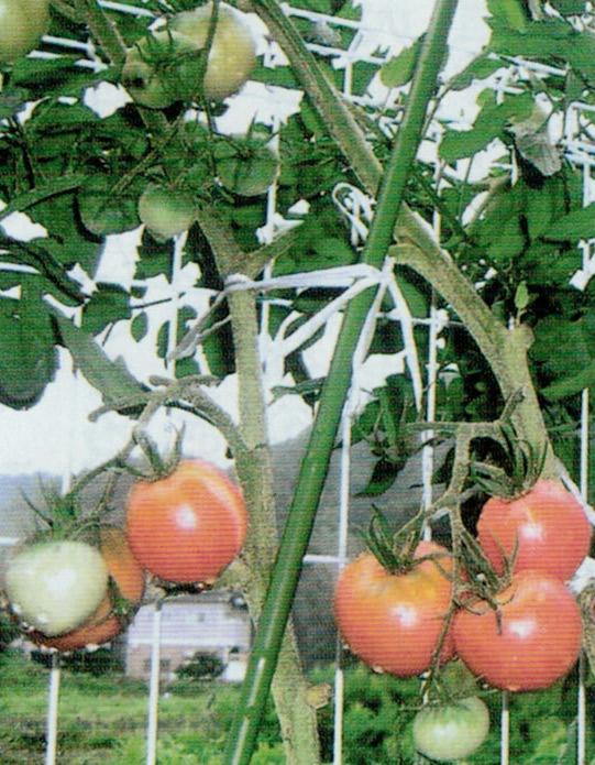 HB-101と顆粒HB-101で、甘いトマトが1本の苗から約50個程収穫できました。
