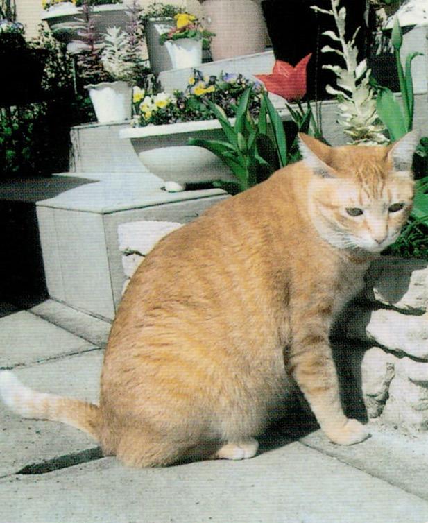 HB-101でとても元気に育ち、大きくなり、毛が艶々して美しい猫になりました。