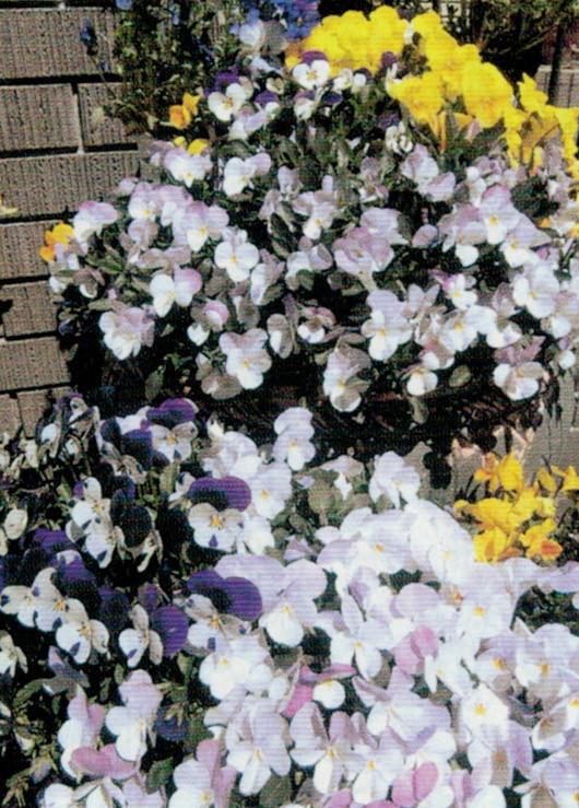 HB-101でビオラとは思えないほどこんなに鮮やかに咲きました。