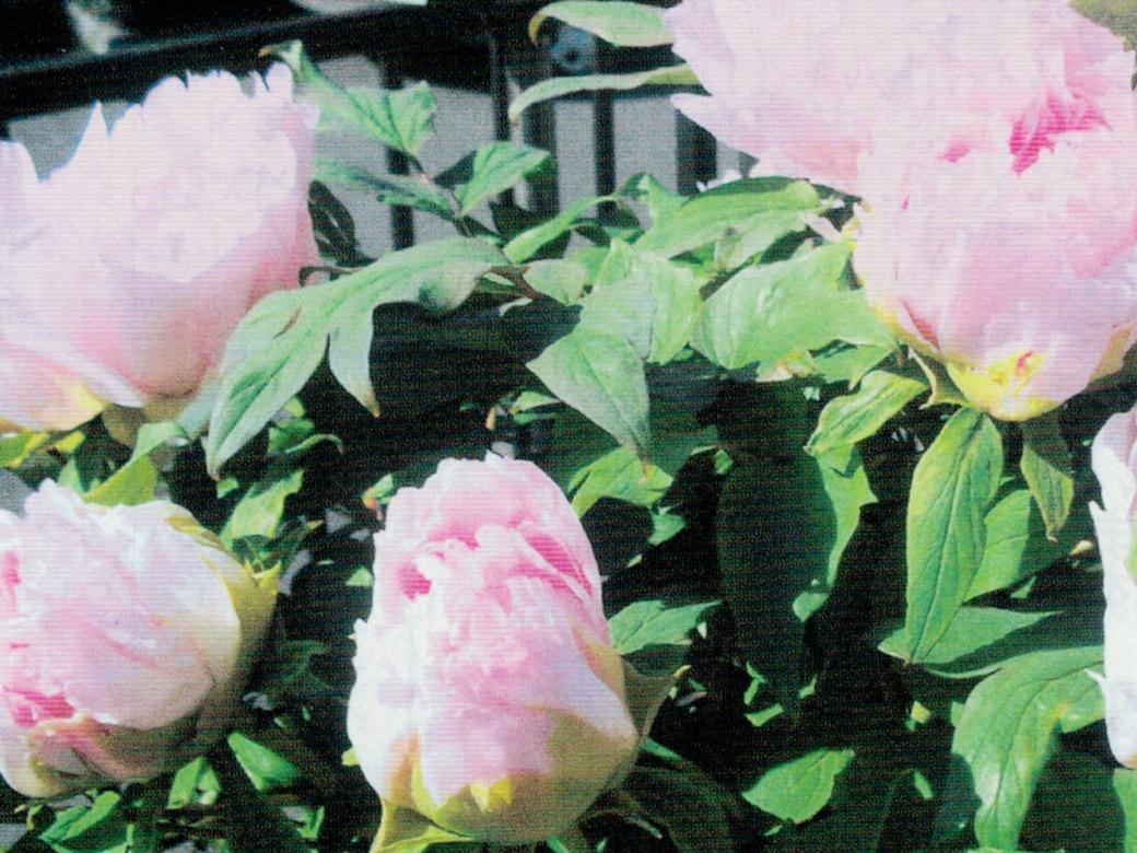HB-101でボタンの花が見事に咲きました。