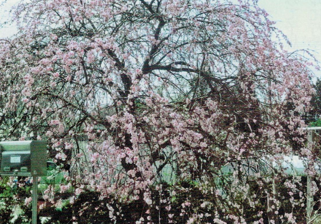 HB-101と顆粒HB-101で、枝垂れ桃が次々と咲いています。