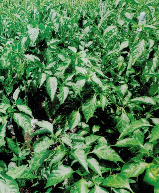 HB-101と顆粒HB-101で、一段と根張りの良い、丈夫な苗が出来ます。