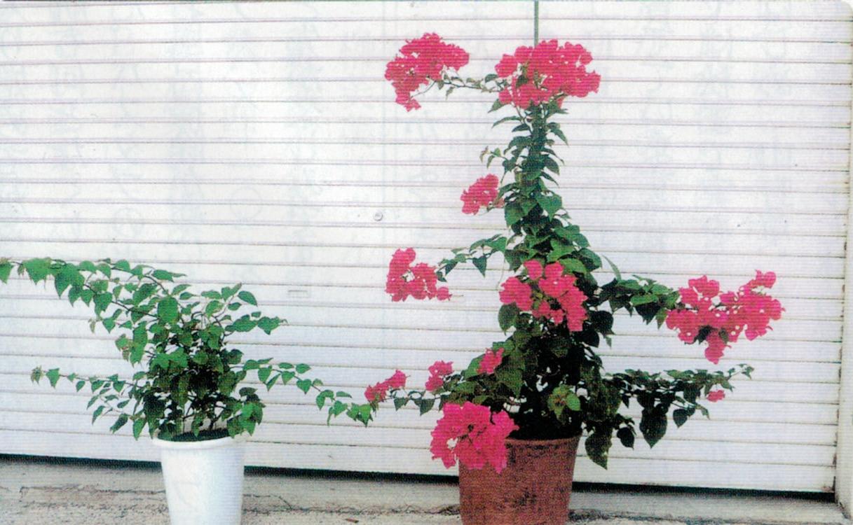 右側は顆粒HB-101でひときわ大きく生長し、見事な花を着けてくれたブーゲンビリアです。左側は未使用のブーゲンビリアです。