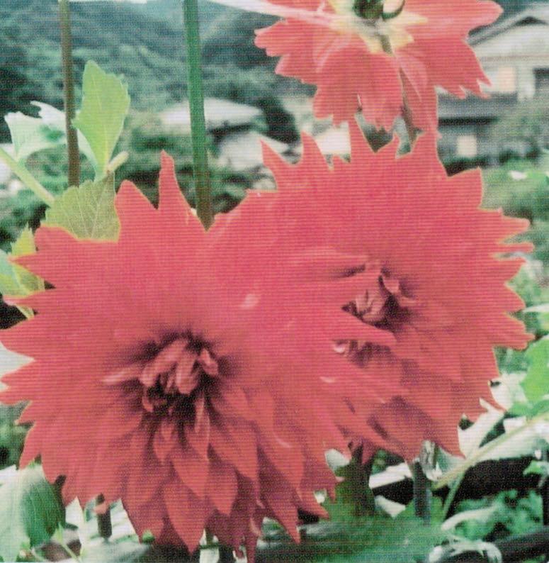 HB-101のおかげで綺麗な大きな花が咲きます。