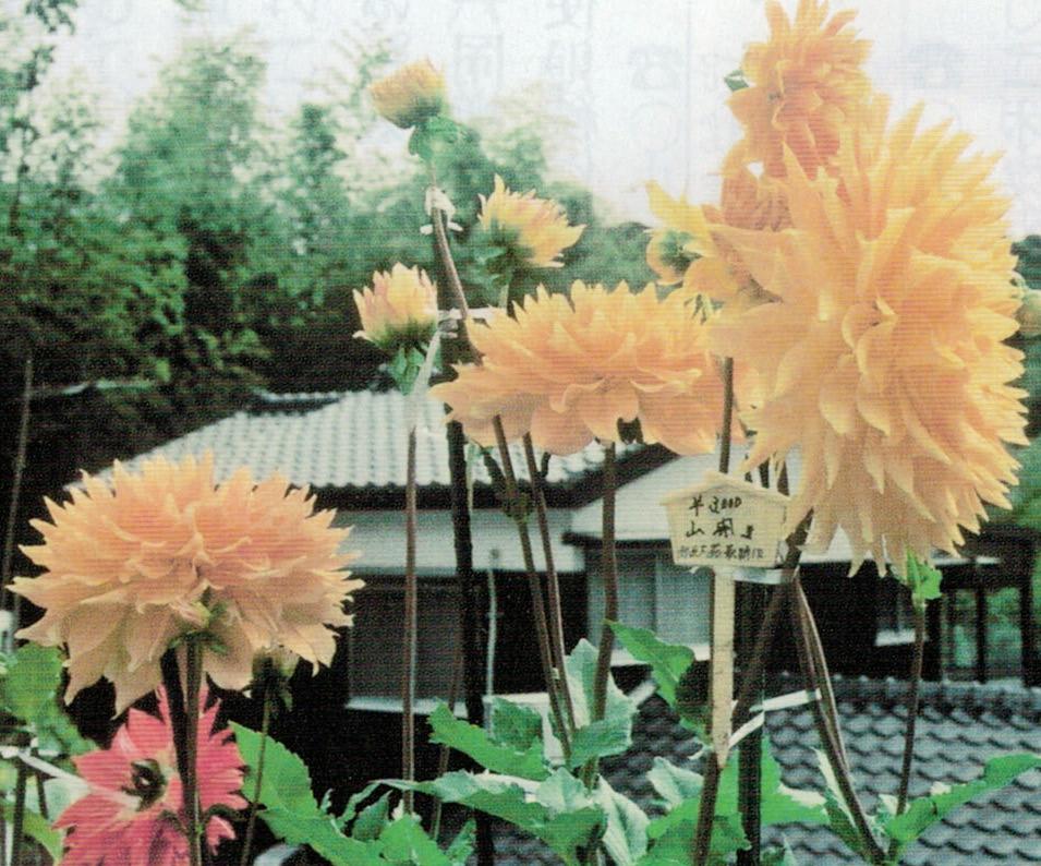 黄色の花は「山開き」、赤色の花は「太陽」です。