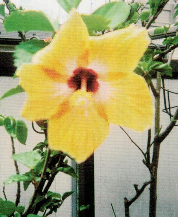 咲かなかったハイビスカスが、HB-101のおかげで咲いてくれました。