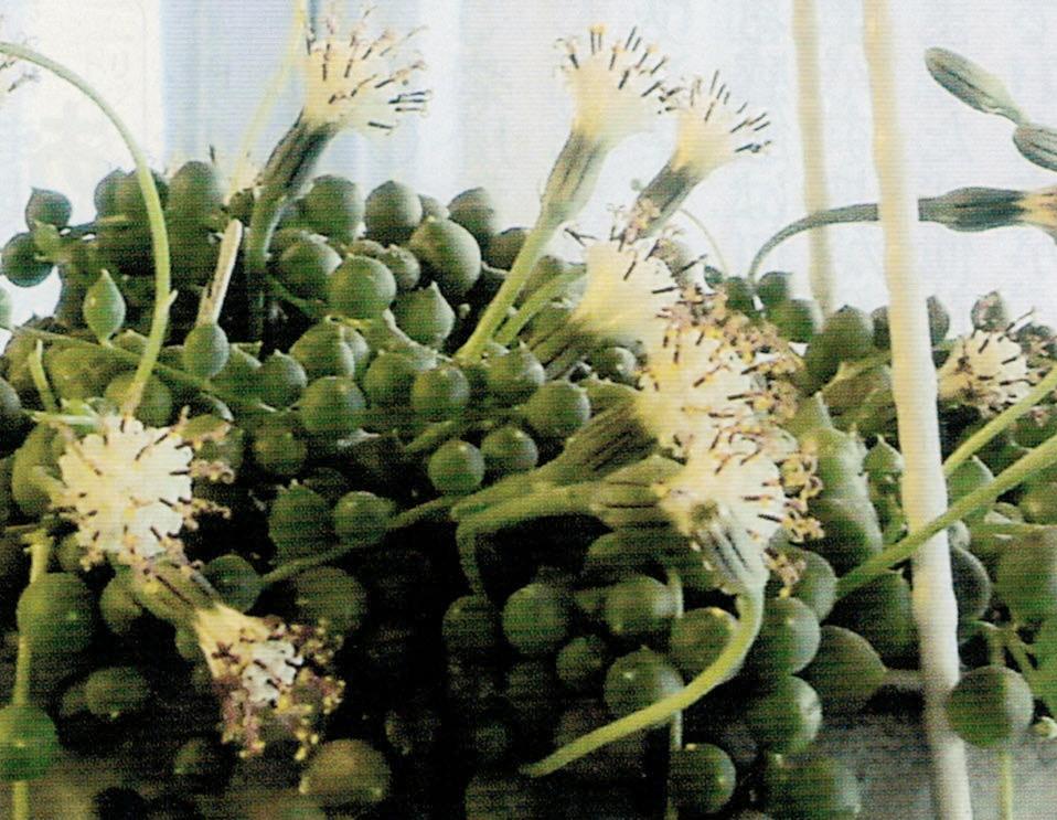 HB-101でグリーンネックレスの花を初めて見る事が出来ました。