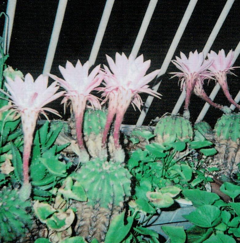 HB-101でサボテンが見事な花を咲かせます。