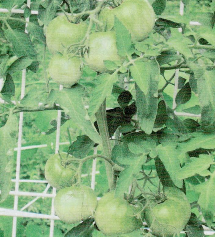 HB-101でトマトが見事に生ります。