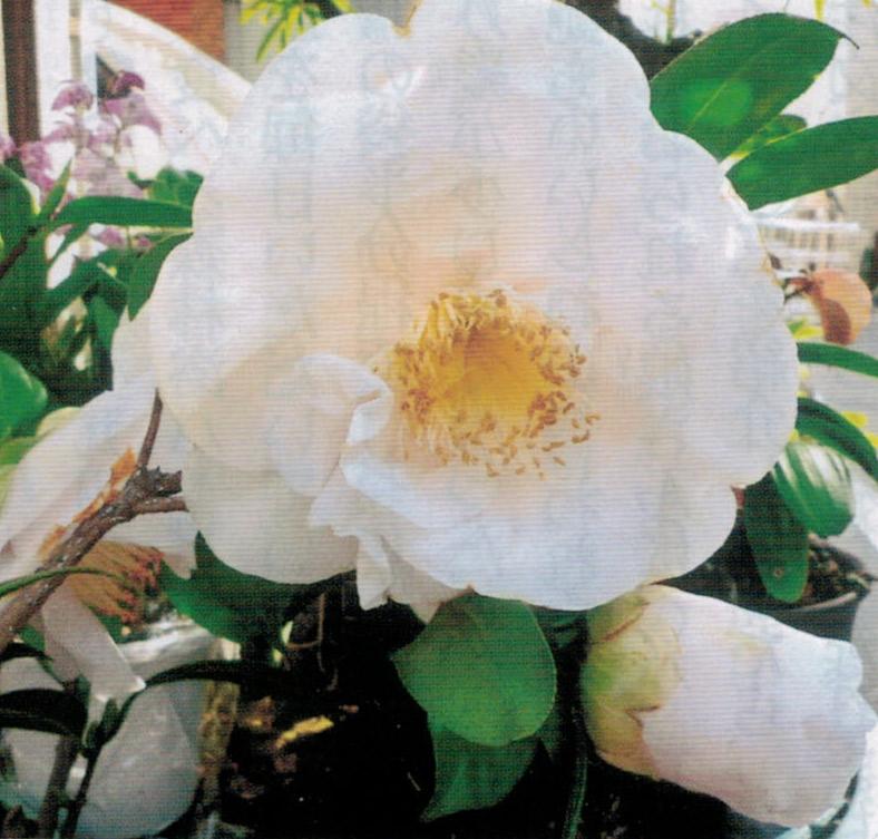 花が全く咲かなかった椿が、HB-101で直径15cm程の花が咲きました。