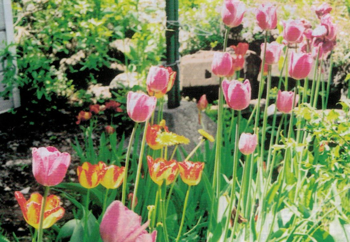 HB-101でチューリップが綺麗に咲いてくれます。