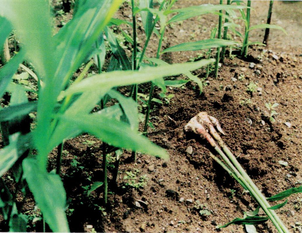HB-101と顆粒HB-101で立派な葉生姜が収穫できました。