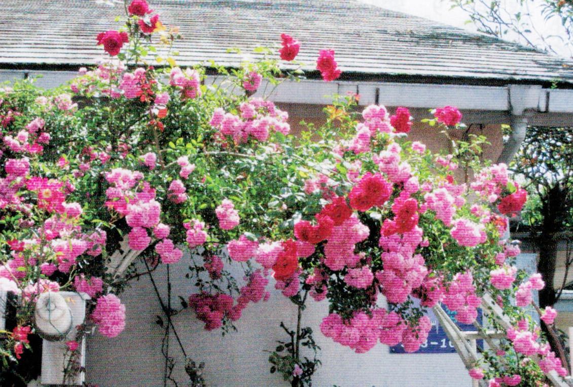 HB-101でバラがとても綺麗です。