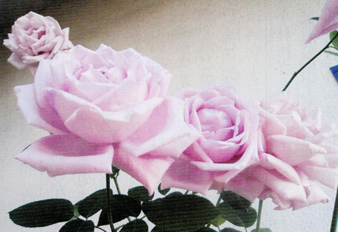 HB-101でバラの花が素晴らしいです。
