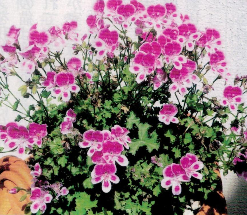 越冬の難しい花がHB-101で丈夫に育ち、春にはたくさんの花を咲かせます。