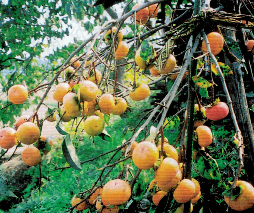 甘柿もHB-101のおかげで、113個の実が着いて、枝が折れそうなほどです。