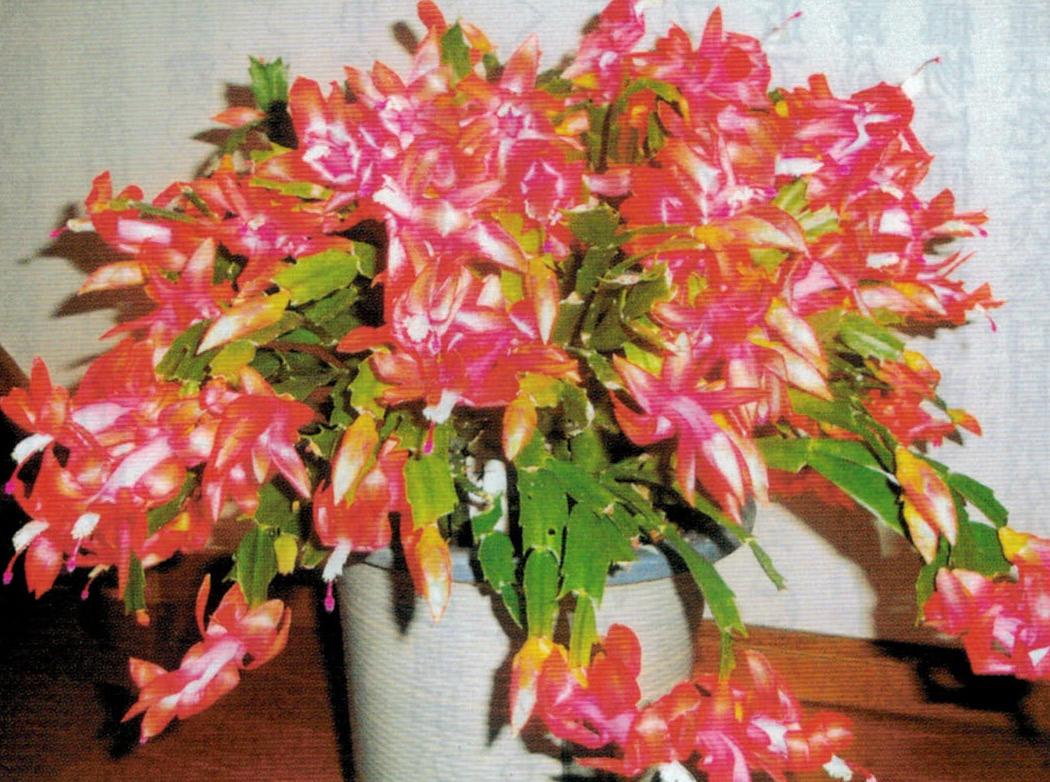 HB-101でシャコバサボテンが元気になり、花芽を着けました。