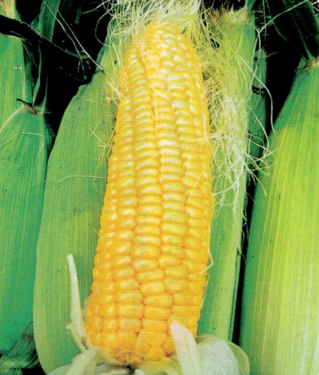 HB-101で育ったトウモロコシは、市場に出荷し、好評を得ています。