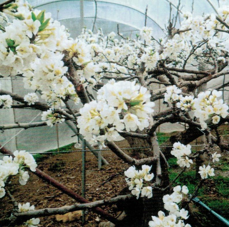 HB-101で育つ樹木は、元気で花着きが良好です。