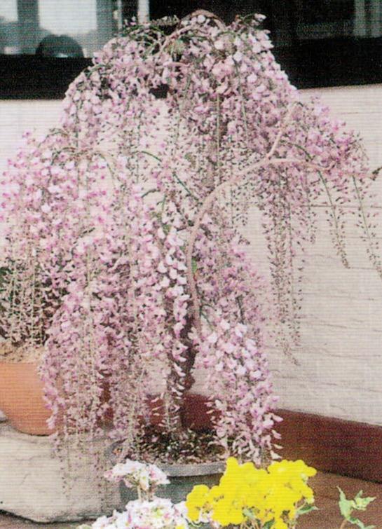 HB-101で咲き乱れるフジの花が満開です。