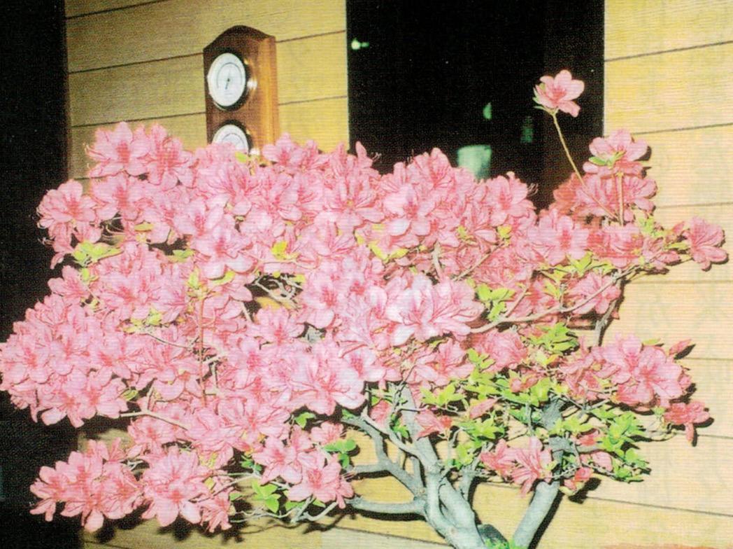 HB-101で480以上の花を着けたツツジです。