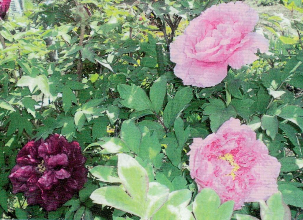 HB-101と顆粒HB-101と活力肥HB-101で、野菜は大きくなって、甘く育ち、花は綺麗に咲きます。