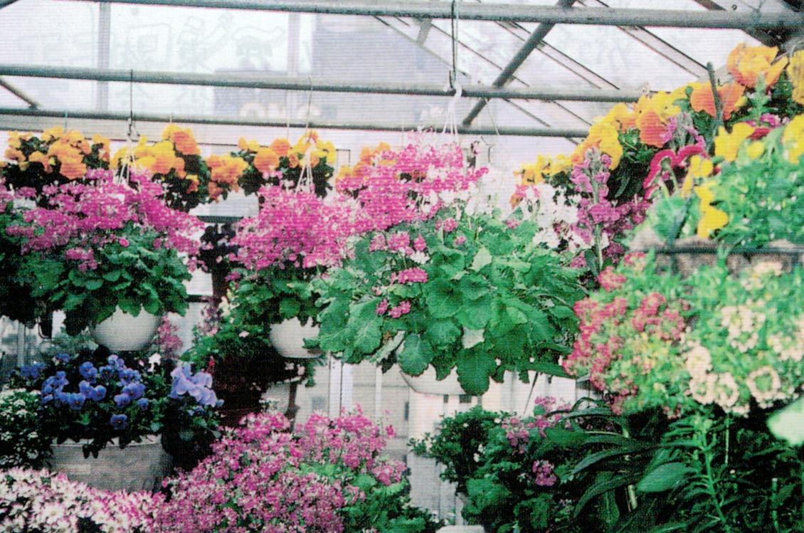 HB-101と顆粒HB-101で、ベランダでも花の着きが良く、花の色も濃く、茎も太くなり、生き生きとしてきます。