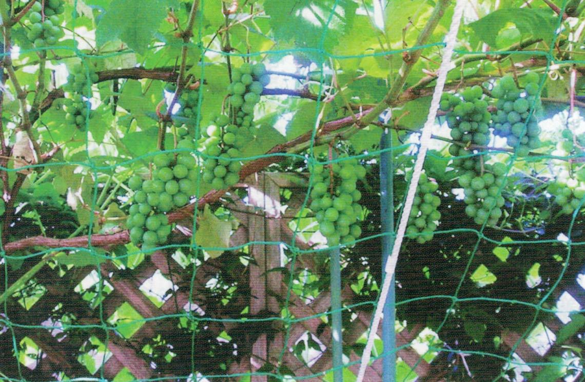 HB-101と顆粒HB-101で、スチューベンのブドウがたくさん実りました。