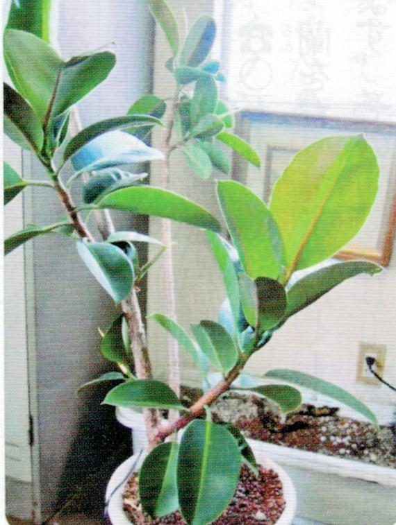 枯れる寸前のゴムの木でしたが、HB-101で新芽が出てきました。
