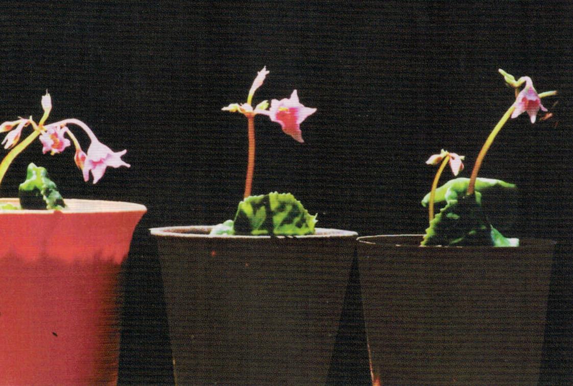 HB-101と顆粒HB-101で、小さいながらも次々とピンクの花が咲き始めました。