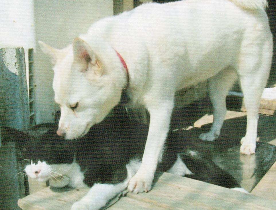 白い犬がおっぱいをあげたり、舐めたりして育てた猫の「くるみ」です。