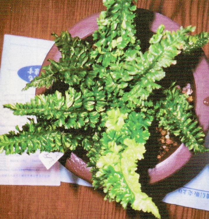 HB-101で九州名草展で大賞をいただきました。