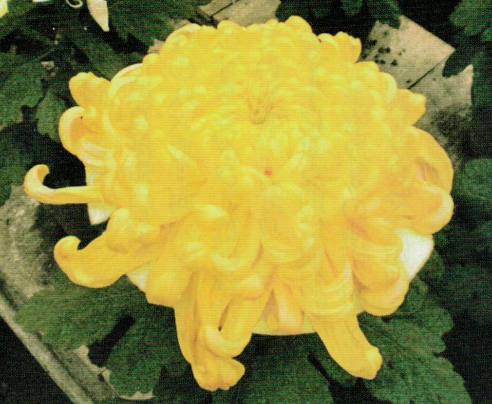 HB-101で花が大きく、色艶が良いと評価を受けています。