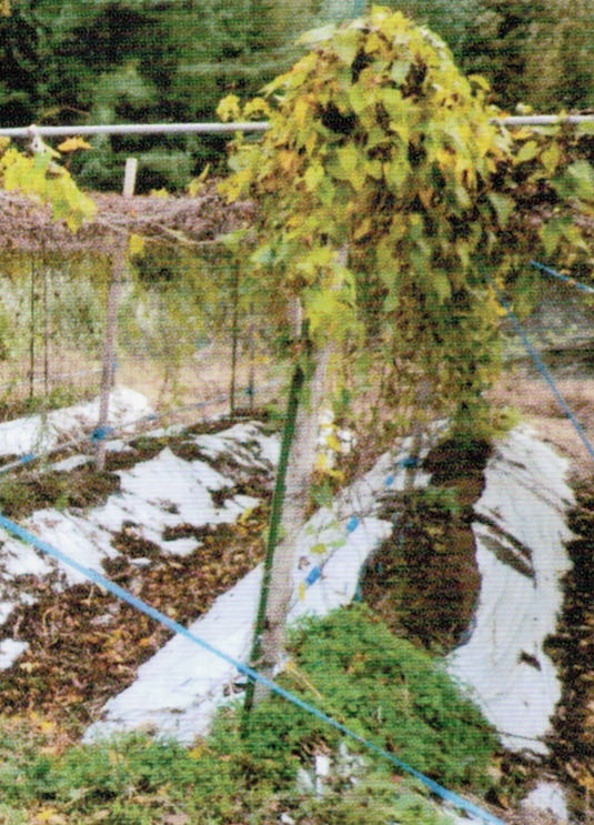 HB-101で根が充分に育っていきます。