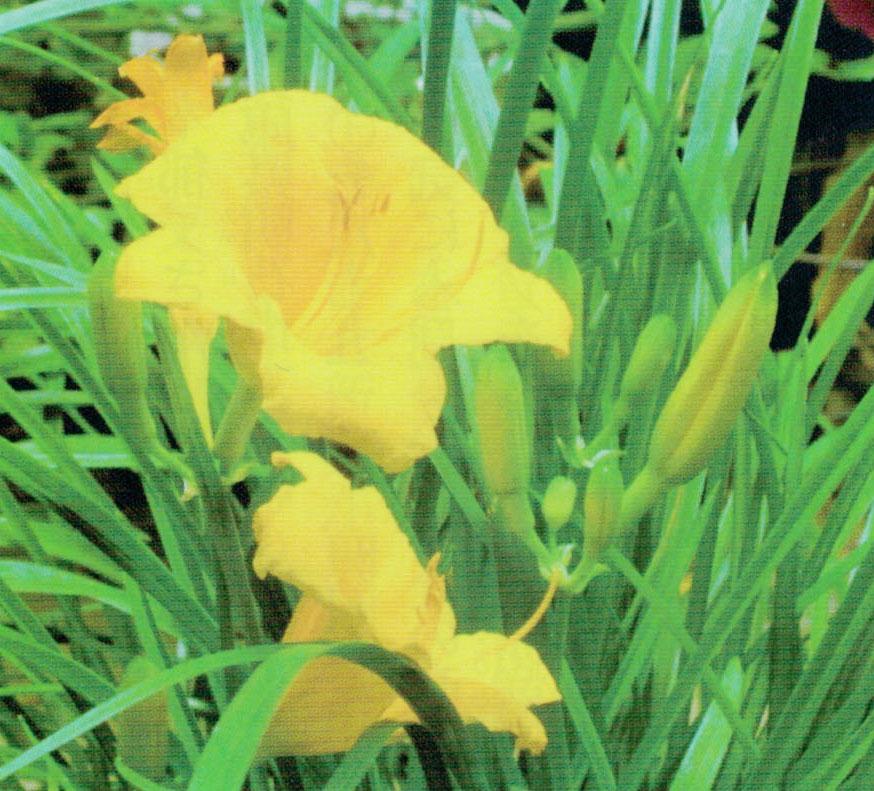 HB-101でヘメロカリスもよく咲いてくれました。