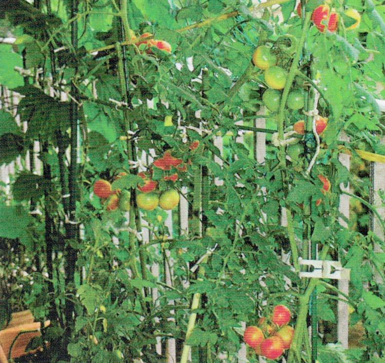 HB-101でベランダにおいしいミニトマトが出来ました。