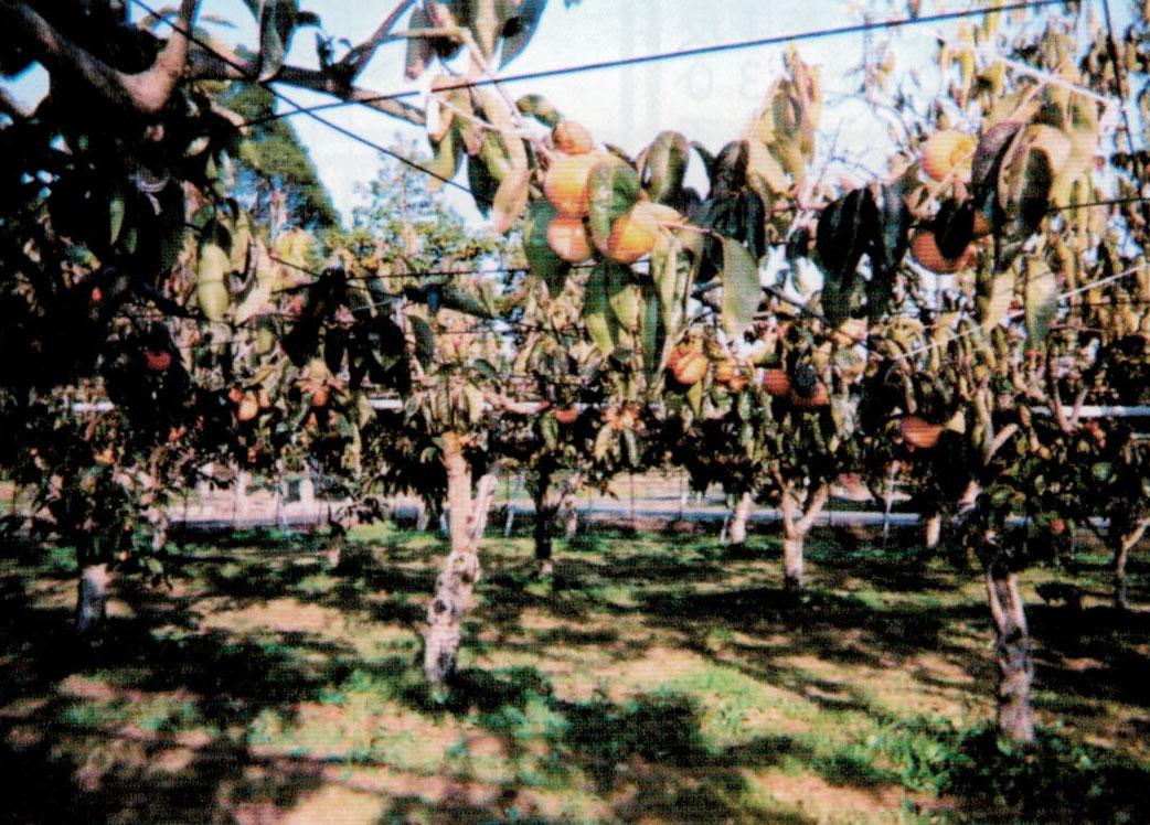 収穫後は翌年のために、HB-101を月に1回の割合で、土壌灌水しています。
