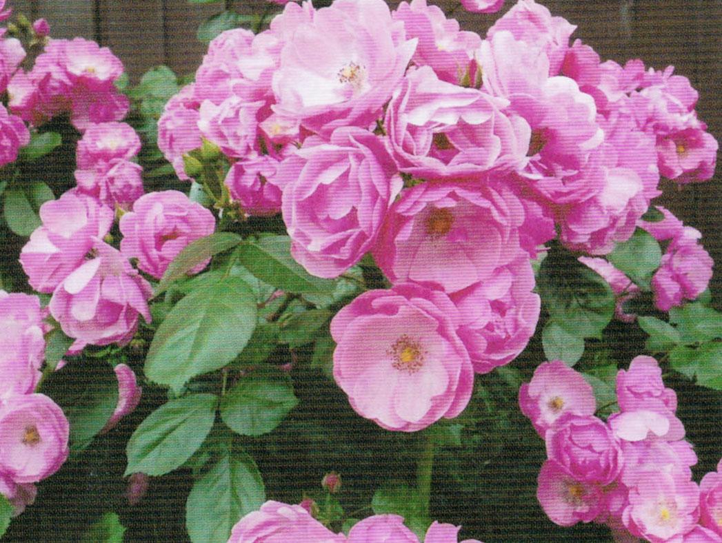 HB-101でバラの花数が増え、色合いがとても良くなりました。