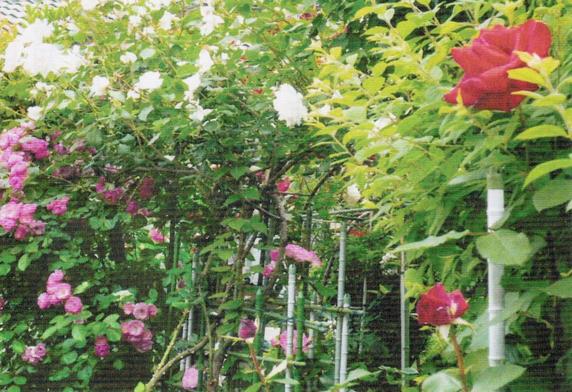 HB-101でバラが病気や害虫に侵されなくなりました。