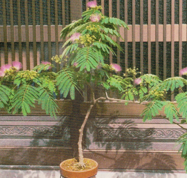HB-101でネムノキの花が、次から次へと咲いてくれました。
