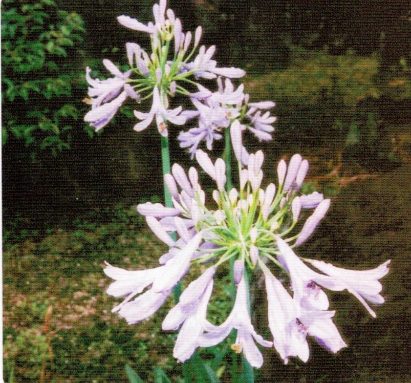 HB-101で花がとても立派で大きく、綺麗に咲き続けてくれました。