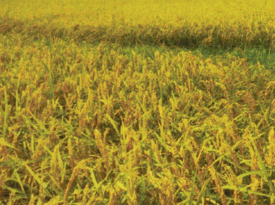 HB-101で収穫量が一反当たり一俵多くなります。