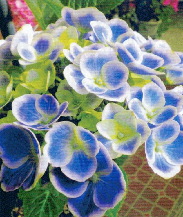 HB-101と顆粒HB-101で、とても素敵な青と白のアジサイです。