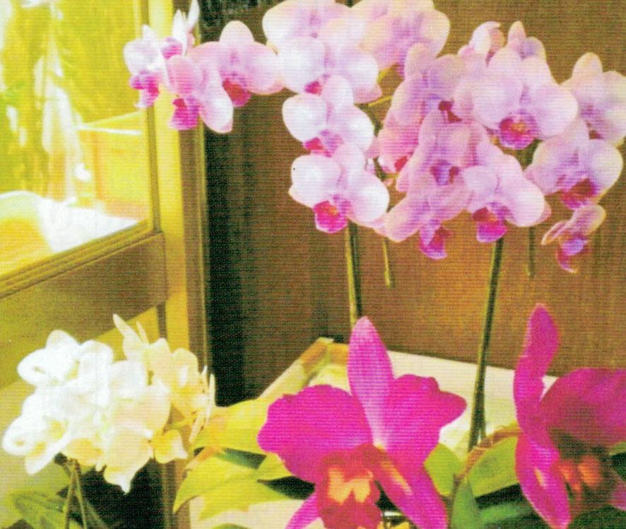 HB-101と顆粒HB-101と活力肥HB-101で胡蝶蘭が6月中に花芽が出て、7月に開花しました。