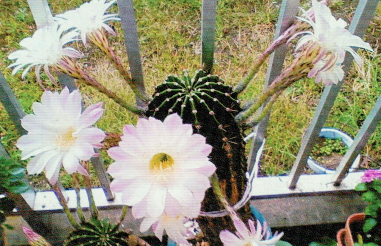 HB-101でサボテンに10個の花が咲きました。