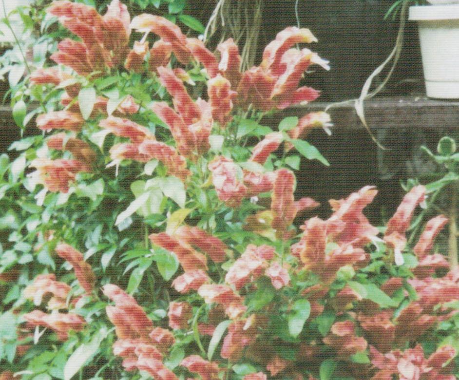 HB-101でたくさんの花を着けたコエビソウです。
