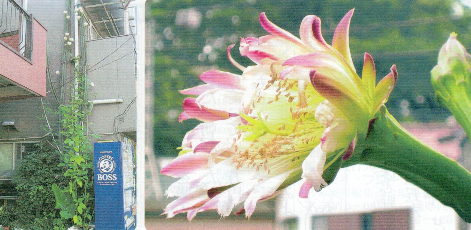 HB-101を使って、2階の屋上を越して5m20cmになりました。 HB-101で綺麗に花を咲かせてくれたサボテンの花です。